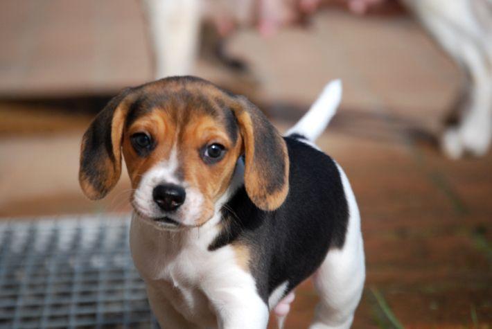 #beagle #smile #minibeagle #poketbeagle #beaglepuppy #beaglepuppies