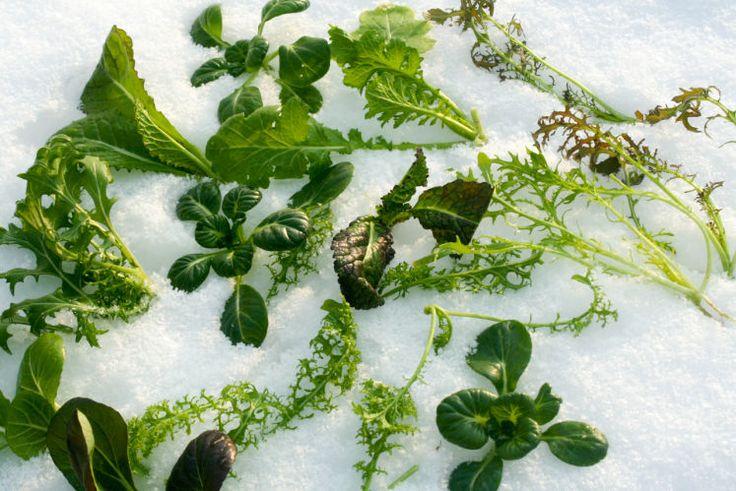Im Winter frisches Gemüse ernten -  Experte zieht und erntet Pflanzen wie Mangold, Salat, Kohlrabi oder Sauerampfer auch in der kalten Jahreszeit. Mehr dazu hier: http://www.nachrichten.at/freizeit/haus_garten/Im-Winter-frisches-Gemuese-ernten;art123,2391360 (Bild: Ploberger)