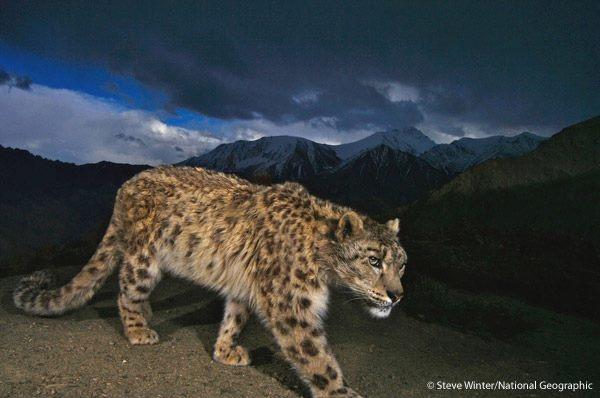 Snow Leopard - Image Credit Facebook Page Panthera