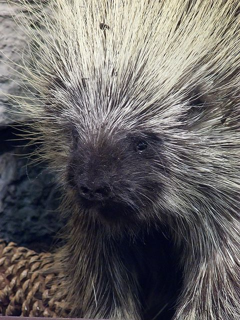 Porcupines are rodents with a coat of sharp spines, or quills ...