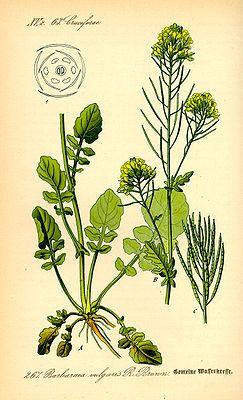 #Winterkresse ( #Barbarea_vulgaris ), Illustration
