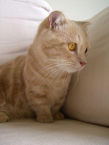 * Munchkin Cat...say wat??  It's like a corgi cat!!!