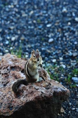 Cute little chipmunk chilling on a rock, Yellowstone National Park