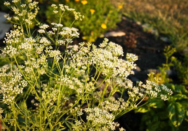 Anise has long been used in western cuisines to flavor some dishes, drinks, and candies!