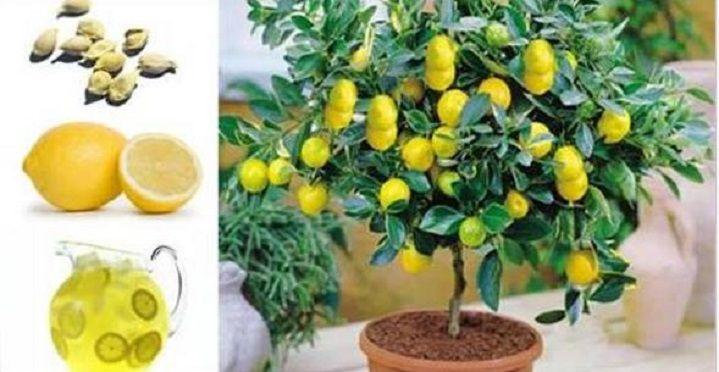 Como plantar um pé de limão a partir das sementes e até dentro de um apartamento! | Cura pela Natureza
