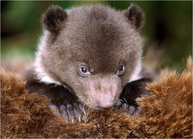 "HowStuffWorks ""Baby Bear Pictures : Cubs Pictures : Pictures : Bears!"""