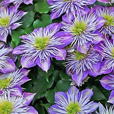 Clematis Richtig Pflanzen