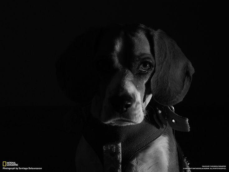 Fotografia di David Santiago Belaunzaran Mentre ero nella mia stanza è entrato il cane, così ho deciso di scattare qualche foto. Ho improvvisato uno studio fotografico, acceso la mia lampada da tavolo e aspettato che il cane assumesse la posizione perfetta. Ho dovuto usare un treppiede, dato sono strato costretto ad utilizzare una bassa velocità dell'otturatore. Poi, ho portato la foto in bianco e nero e ho regolato leggermente il contrasto.