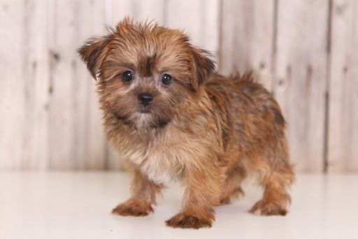Shorkie Tzu puppy for sale in MOUNT VERNON, OH. ADN-38829 on PuppyFinder.com Gender: Female. Age: 8 Weeks Old