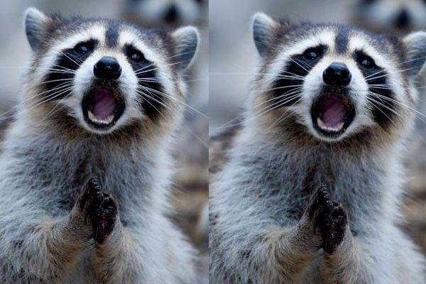 Este divertido mapache