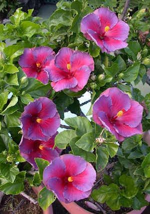 Champion 'Multi Bloom Nightfire' Hibiscus. Wish these could grow here. They're beautiful!
