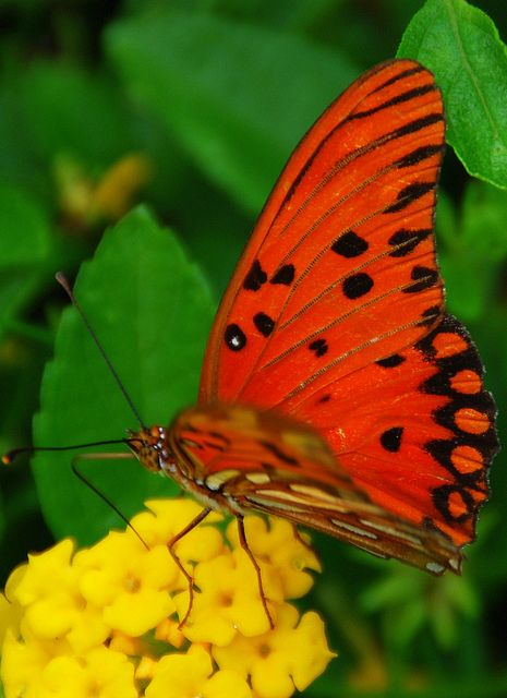 Butterfly of Brazil | butterflies are FREE...to fly ...