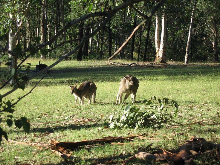 Kangaroos,near Blue Mountains,New South Wales,Australia