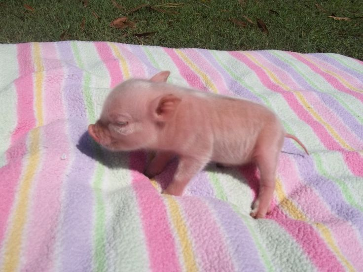 pet baby pig. im getting one, but mine will have black spots