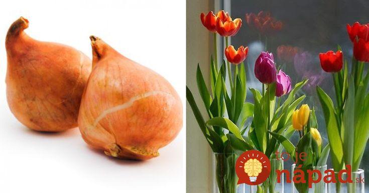 Na pestovanie tulipánov nepotrebujete ani centimeter pôdy. Jednoduchý trik, ako ich vypestovať v byte!