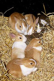 HOW TO TAKE CARE OF A PREGNANT RABBIT