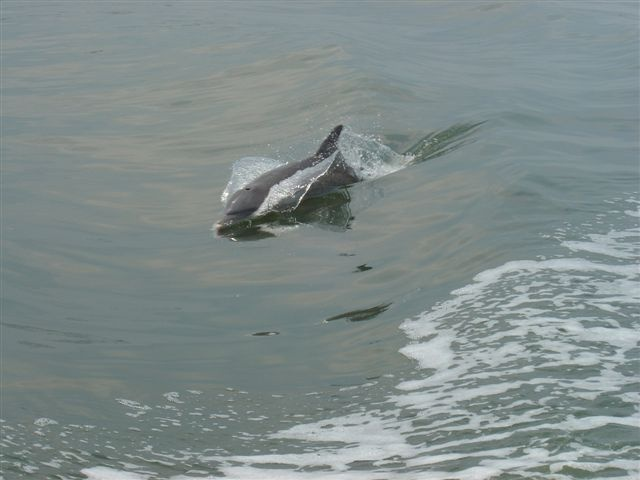 See Dolphins In Nature The Banana River Things To Do Cocoa Beach Pinterest Florida And