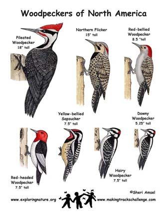Woodpecker Identification Chart | Exploring Nature Educational Resource