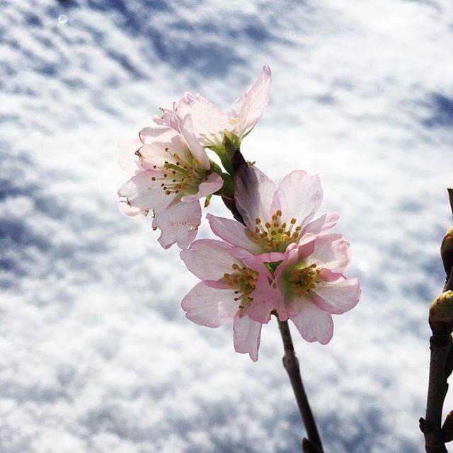 【gin431】さんのInstagramをピンしています。 《我が家の初咲き! 啓翁桜がお正月を彩ってくれてます(о´∀`о)  #啓翁桜#桜#冬の桜#山形#高畠#土屋農園》