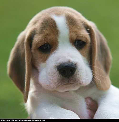Top Pupies Chubby Adorable Dog - ef13ff820eb3549d5965a32c4b18ff00--beagle-pups-baby-beagle  HD_92914  .jpg