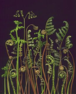 14517 Ferns 340 by horticultural art, via Flickr