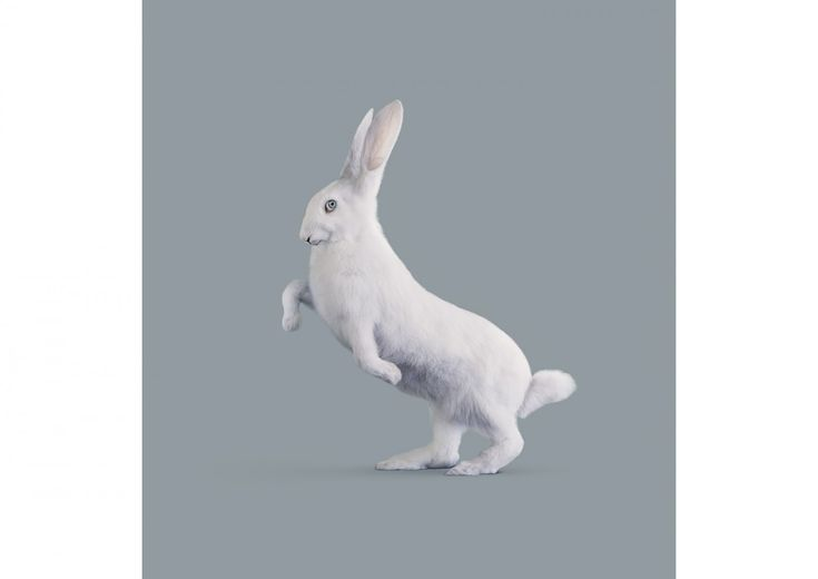 Vincent Fournier, Post Natural History, RABBIT [Oryctolagus cognitivus] Very intelligent rabbit, 2012.