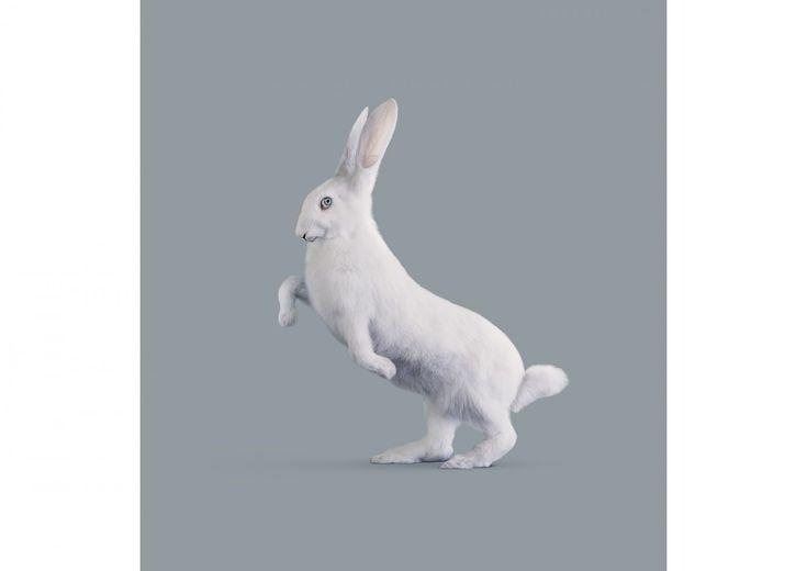 Vincent Fournier, Post Natural History, RABBIT [Oryctolagus cognitivus] Very intelligent rabbit, 2012.