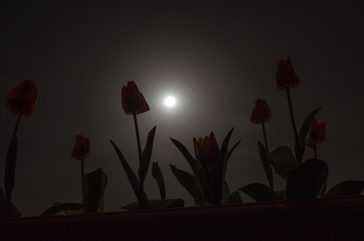 Tulips under the moonlight by Odysseas Megalooikonomou - Photo 145707151 - 500px