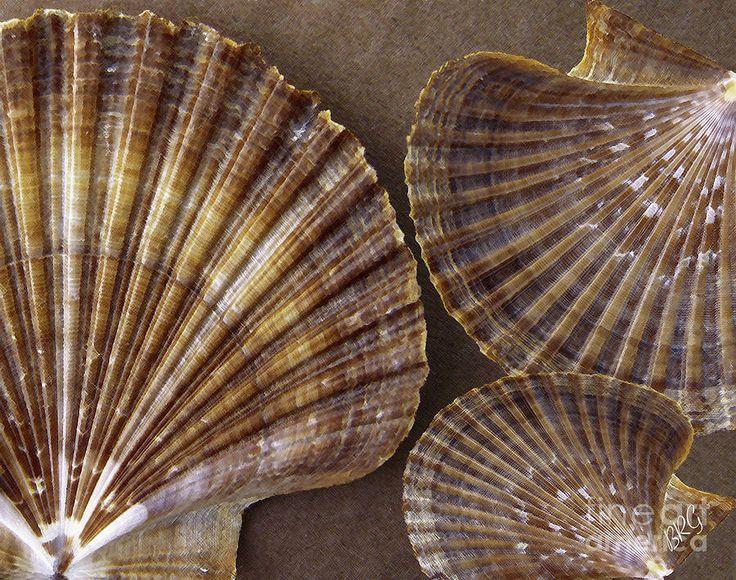 Seashells Spectacular No 7 Photograph  - Seashells Spectacular No 7 Fine Art Print