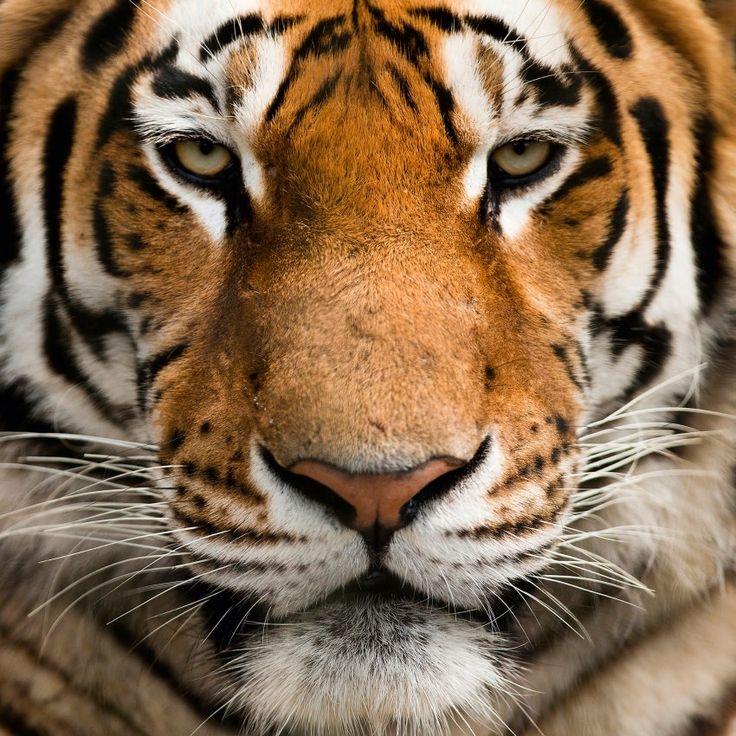 Michael Gallagher, Platz drei Kategorie Animals:  Sibirischer Tiger