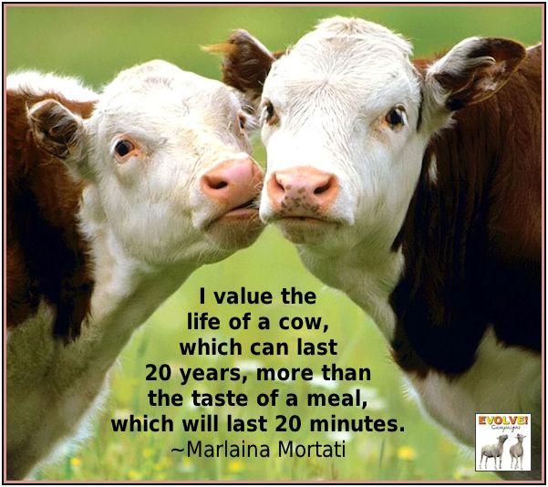 Mortati quote: I value the life of a cow...
