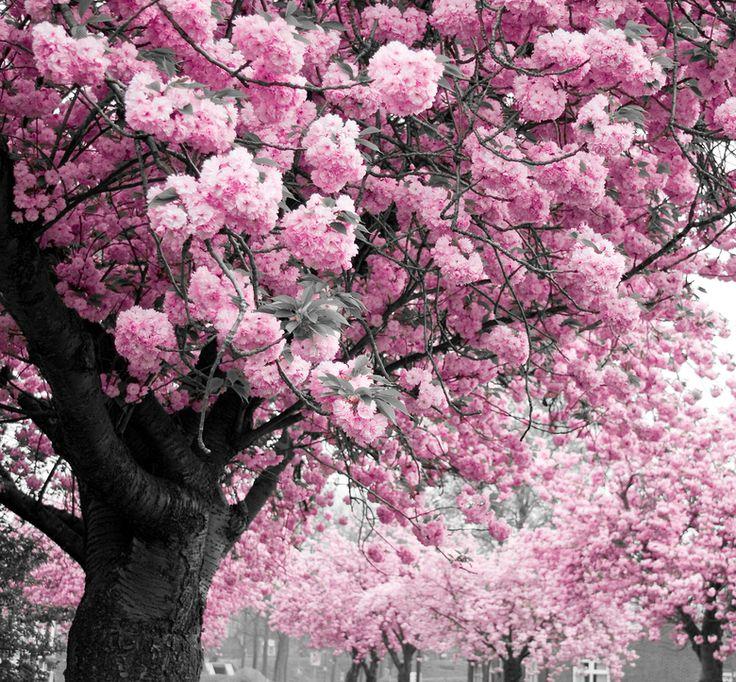 roze bomen