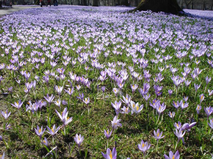 Top 17 Idei Despre Krokusse Pflanzen Pe Pinterest | Blumenzwiebeln ... Hinweise Krokus Pflanzen Rasen Blumentopf