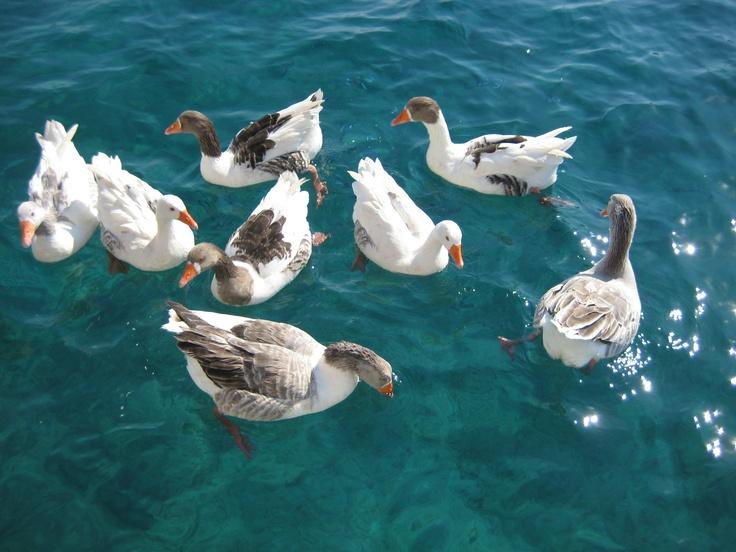 Geese at the 'Aquarium'