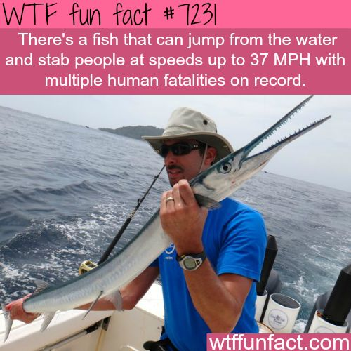 This fish jumps out of water and stabs people at high speed - WTF Fun Fact