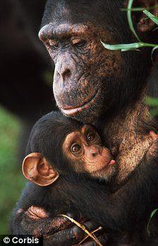 Chimps :)