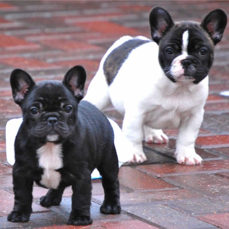 Cutest French Bulldog Puppies Photos | Best Dog Breeds, Photos and Pictures