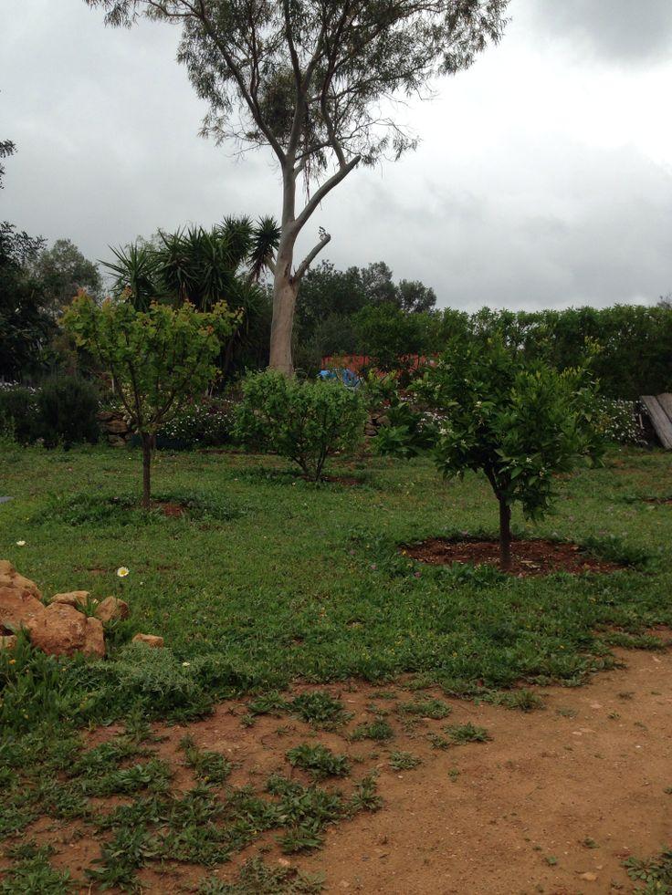 Boomgaard, mini sinaasappelbomen en citroenen maart