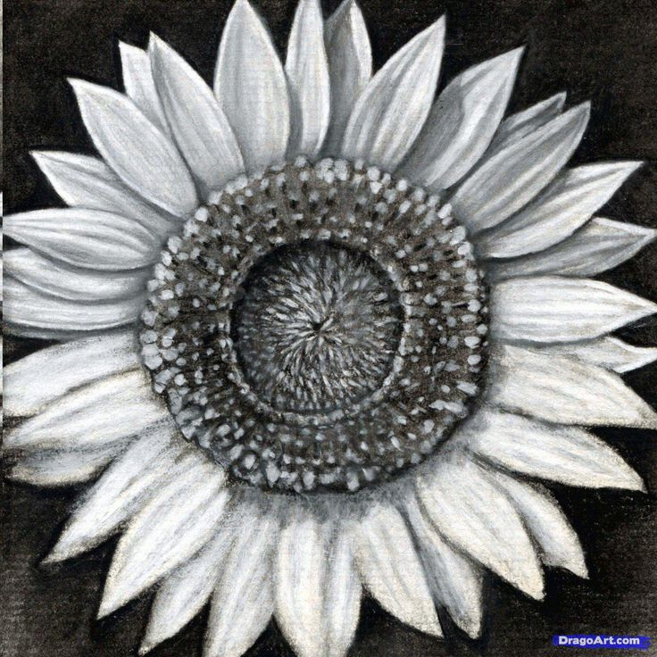 how to draw a sunflower, realistic sunflower step 20