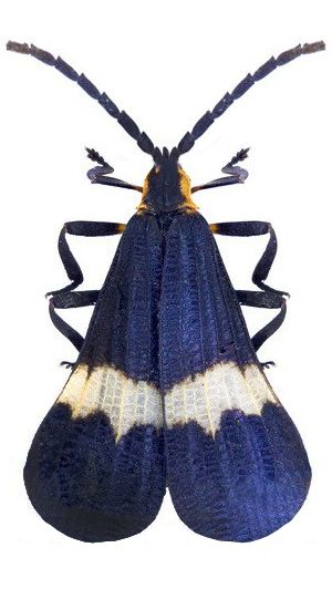 Calopteron tropicum, net winged beetle