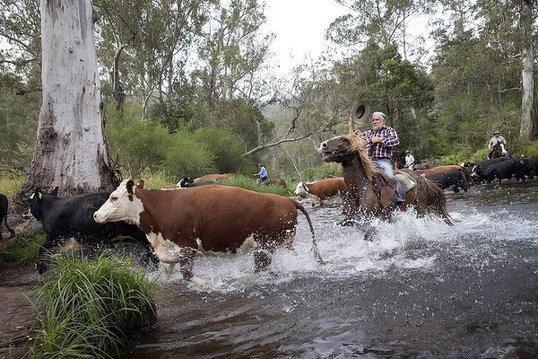 Charlie Lovick heads his cattle across the Howqua River in Mansfield State Forest, Victoria. The Sunday Age.