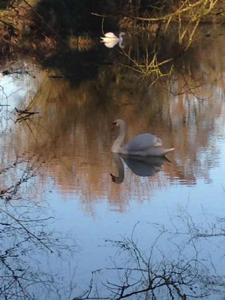 Winter swan reflection