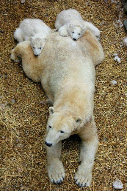 Polar Bear and Cubs