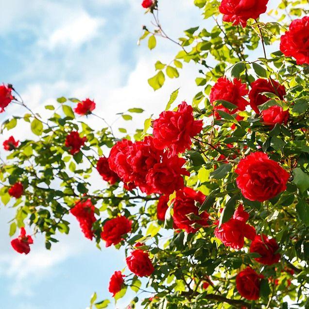 Como Cultivar El Jardin De Rosas De Tus Suenos | Red roses ...