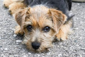 Norfolk Terrier (looks like our Nina)