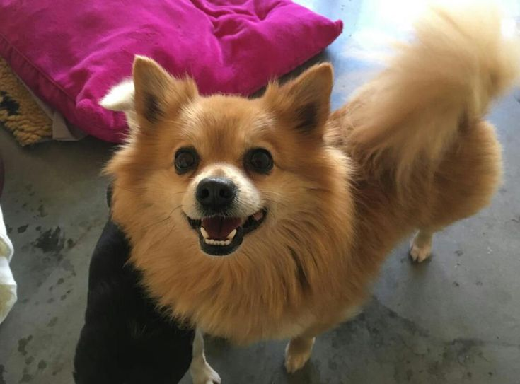 Zeus is a handsome Pomeranian who is a little nervous & needs a family who will help build his confidence. He's an active little pooch who loves going on walks & playing with his toys - squeaky toys are his favourite. Zeus is dog friendly but will need to be the only dog in the home. Zeus is particularly worried of being picked up so it's important that his forever family understand this & don't force him to do too much too soon. Zeus really does have bundles of potential @dogstrust…