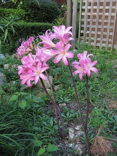 Amaryllis belladonna [typical West Coast clone] (aka Naked Lady)