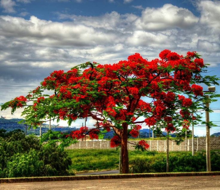 1000 images about el salvador on pinterest perquin for Arbol del fuego jardin
