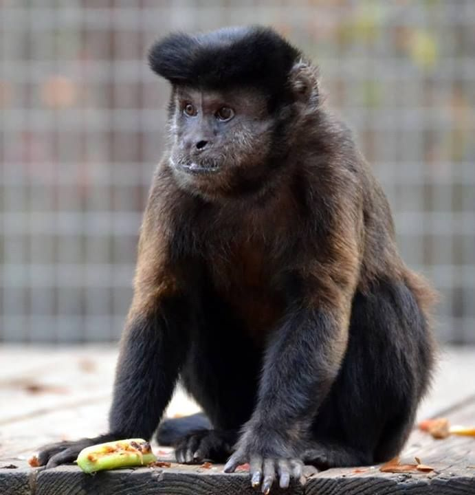 "Elvis defeated the ""ants on a log"" (Celery, peanut butter, & raisins) made for him by one of his favorite volunteers, Hannah. :-) www.noahs-ark.org #antsonalog #elvis #capuchin #primate #enrichment #noahsark"