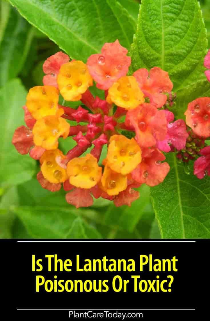 Is The Lantana Plant Poisonous Or Toxic The Answer Lantana Plant Lantana Plants